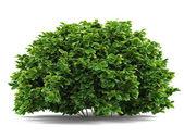 Pflanze Bush isoliert