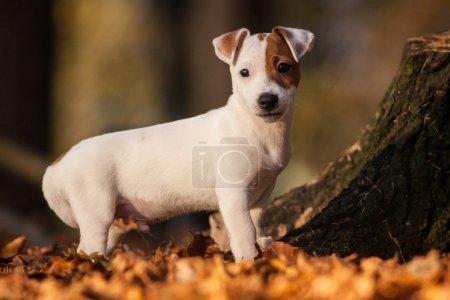 Photo pour Chien jack russell terrier - image libre de droit