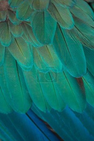 Detail of peacock