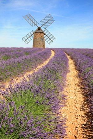 Photo for France - Valensole - Lavandes - Royalty Free Image