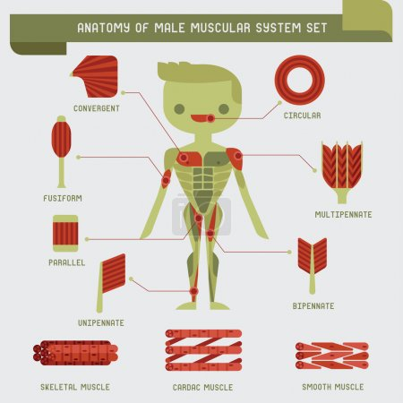Anatomy of male muscular system...