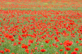 Poppy field (Papaver rhoeas)