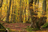 Beech Forest of Montegrande in Autumn. Asturias, Spain.
