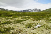 Reindeer skull in tundra, Dovrefjell National Park, Norway.
