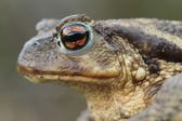 Common Toad (Bufo bufo) head