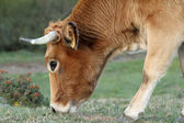 Cow eating grass in Asturias, Spain.