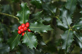Holly branches with fruits (Ilex aquifolium)