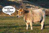 Vegetarian funny cow talking.