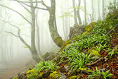 Fog in beech forest in spring, Asturias. Spain.