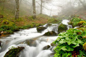 Stream in a beech forest in the fog, Asturias, Spain.