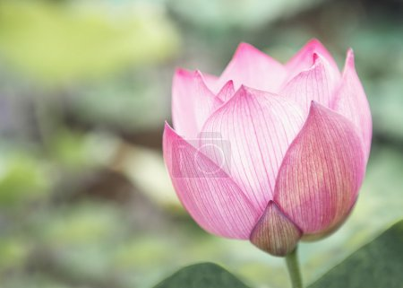 Pink lotus flower on a lake