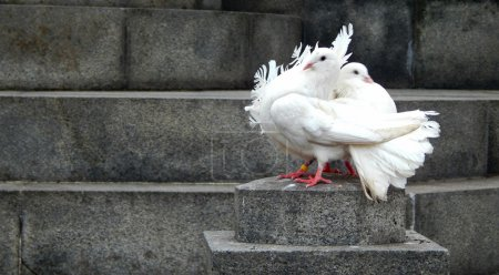 Two beautiful white doves sitting on a rock next to each other