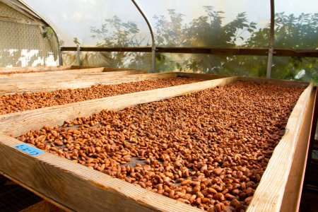 Cacao nibs have been stripped from their pods and ...