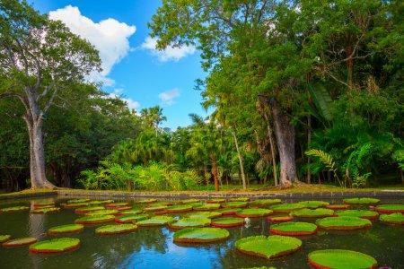 Photo pour Grand nénuphar vert « victoria amazonienne » dans un étang dans un parc tropical - image libre de droit