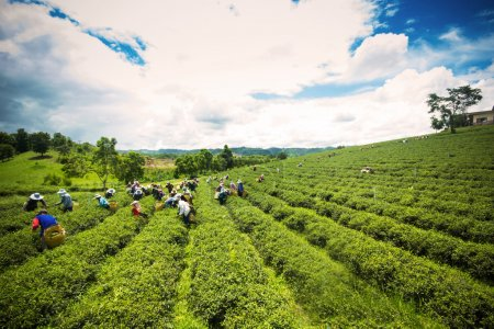 Unidentified workers are harvesting tea leaves at Chiangrai prov