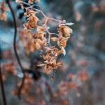Dried hop flowers in hoarfrost...