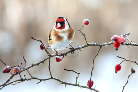 European Goldfinch with frozen red rose hips....