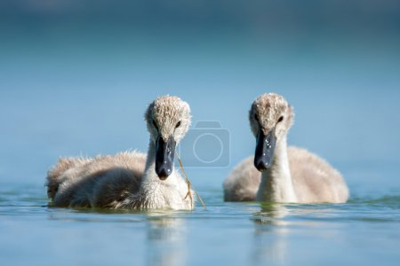 Swan babys in blue lake.