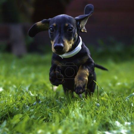 Smooth-haired dachshund in the garden