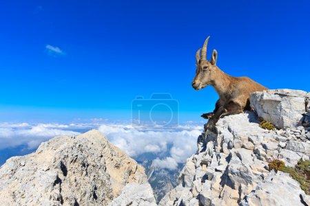 Photo pour Capricorne femelle couchée sur des rochers sur la montagne Montagio, Italie - image libre de droit