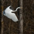 White heron in fly...