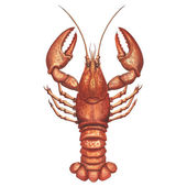 The vintage watercolor illustration of lobster