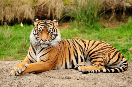 Portrait of a Royal Bengal tiger alert and staring...