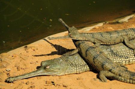 Foto de Un par de bebés gharial se subió sobre la espalda de su madre. esta especie está clasificada como en peligro crítico debido a sus conteos declive rápido. - Imagen libre de derechos
