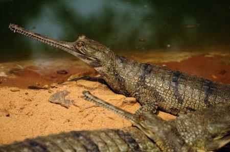 Foto de Cocodrilos gavial toman el sol en la luz del sol durante el invierno por la orilla del río. esta especie está clasificada como en peligro crítico debido a sus conteos declive rápido. - Imagen libre de derechos