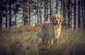 Labrador szabadban