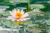 Beautiful pink waterlily or lotus flower in a pond with rain dro