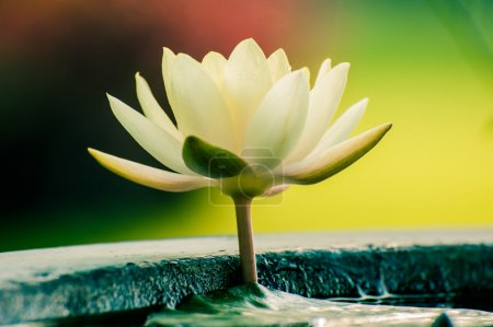 A beautiful white waterlily or lotus flower in pond