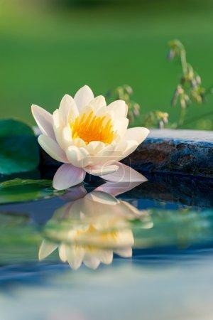 Photo pour Belle lotus ou nénuphar en étang - image libre de droit