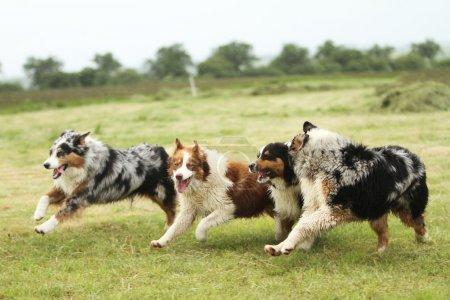 Australian Shepherd running
