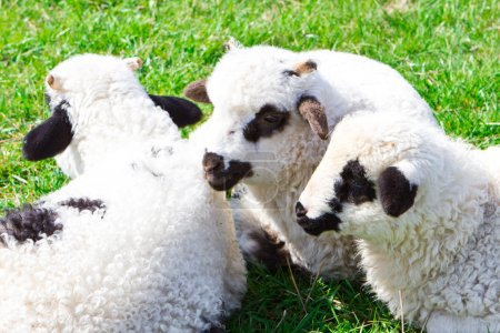 Flock of sheeps on the meadow at sunny day...