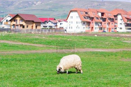 Country view at sheep grazing near blocks...