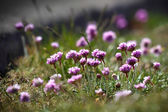 Sea Pinks (armeria)
