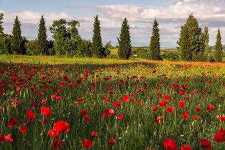 Poppy field in Tuscany