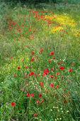 A field of spring flowers in Castiglione del Lago Province of Perugia