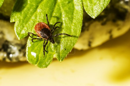 Ixodes ricinus, the castor bean tick, is a chiefly...