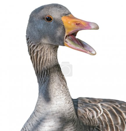 goose with open mouth