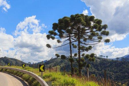 Photo pour Araucaria angustifolia (pin brésilien) près de route paysage ciel nuages Brésil - image libre de droit