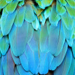 Постер, плакат: Harlequin Macaw feathers