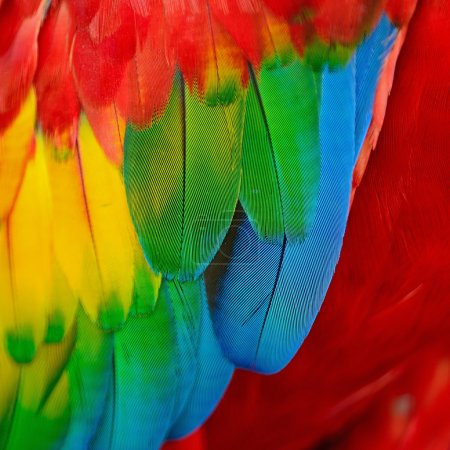 Photo for Scarlet Macaw feathers, colorful background texture - Royalty Free Image