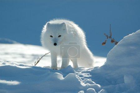 Photo pour Renard arctique - image libre de droit