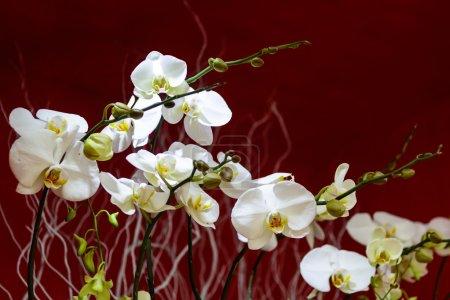 Photo pour Orchidée blanche fleurissant à Sanya sur la saison d'hiver . - image libre de droit