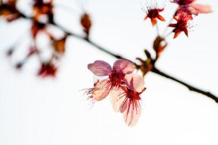 Foto de Hermosa flor cerezo japonés - sakura en primavera del parque yuyuantan, beijing. - Imagen libre de derechos