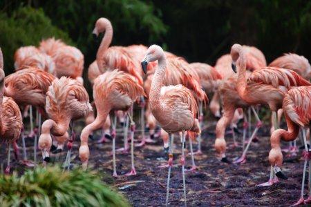 Flock of pink flamingos foraging in a lake