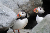 Two Puffin Birds Nesting in a Rocky Ledge