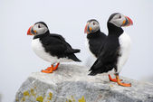 Three Puffins Standing on a Rocky Ledge